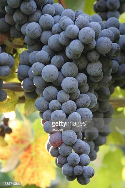 grapes at a vineyard - cabernet sauvignon grape stock photos and pictures