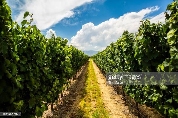 Grapes at vineyard in Mendoza, Argentina