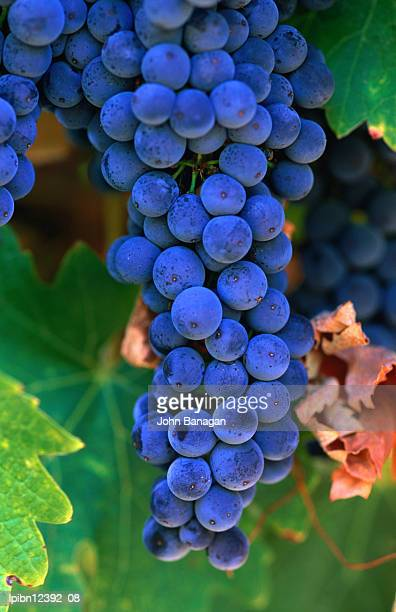 Grapes, Barossa Valley, South Australia, Australia, Australasia