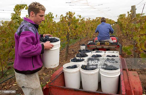 Grapes being collected in the back of a trailer by young workers during harvest at Curly Flat Vineyard.