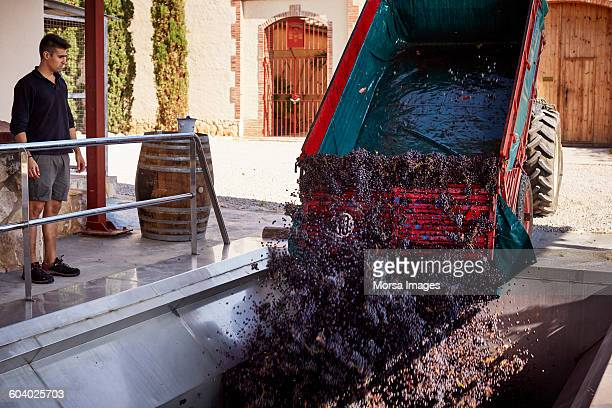 Grapes being unloaded at winery