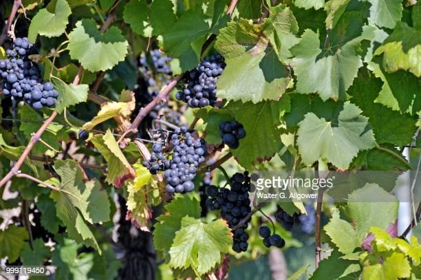 Grapes (Vitis vinifera), blue grapes on the vine, vineyard in Esslingen am Neckar, Baden-Wuerttemberg, Germany