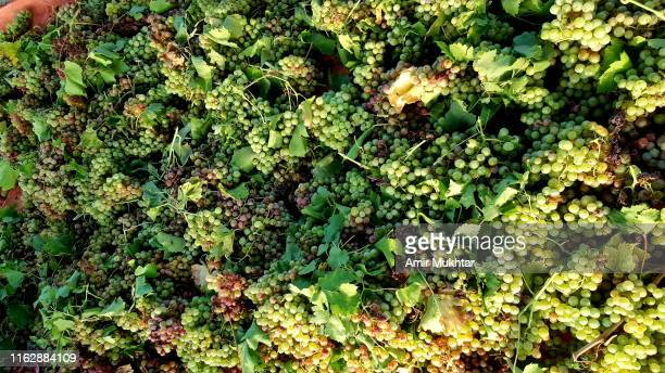 grapes bunches lying on ground after cutting from veins at farm - grape leaf stock pictures, royalty-free photos & images