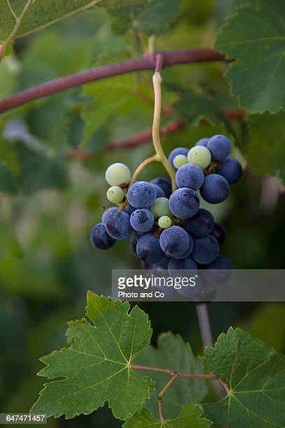 Grapes during the harvest