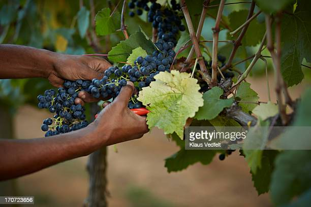 Grapes getting cut off vine