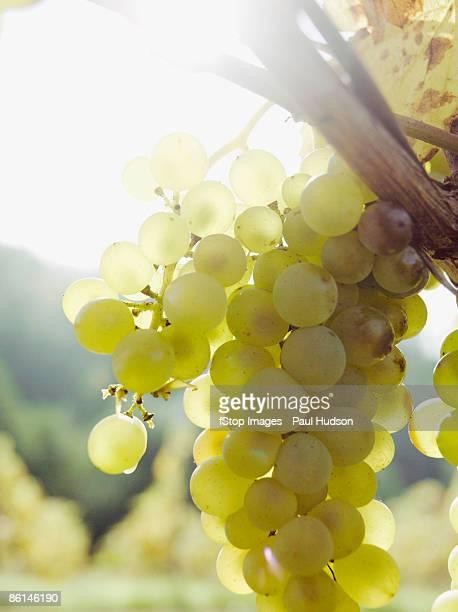 Grapes growing at a vineyard
