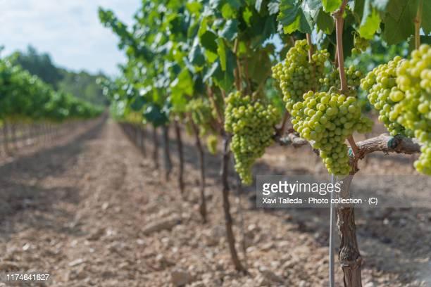grapes growing in vineyard - weinberg stock-fotos und bilder