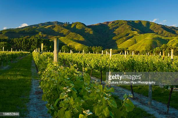 grapes growing in vineyard - marlborough new zealand stock pictures, royalty-free photos & images