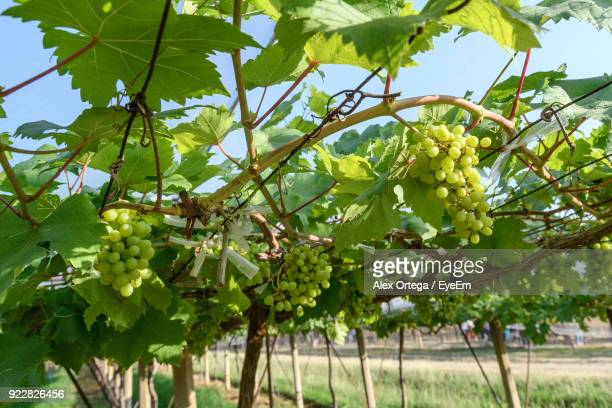 Grapes Growing On Tree Against Sky