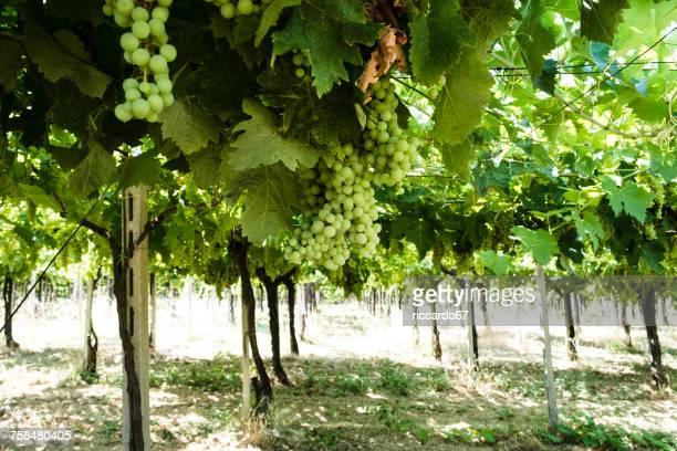 Grapes Growing On Vine At Vineyard