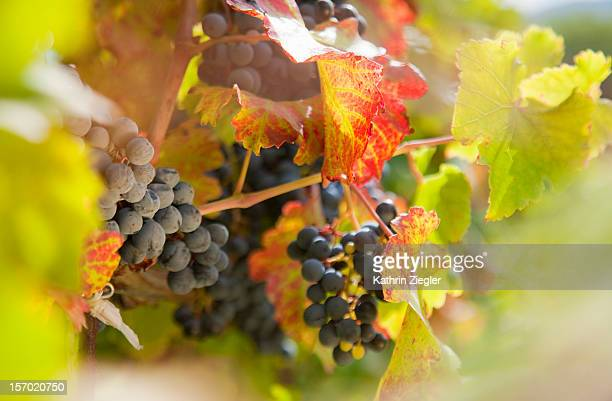 grapes growing on vine, close-up