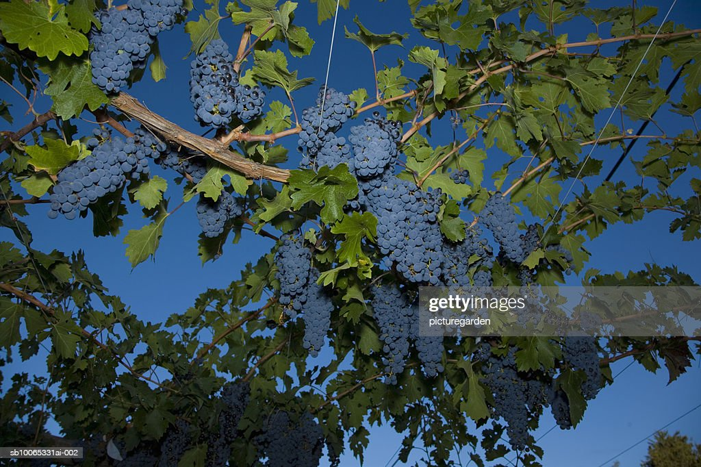Grapes hanging at vineyard, low angle view : Foto stock
