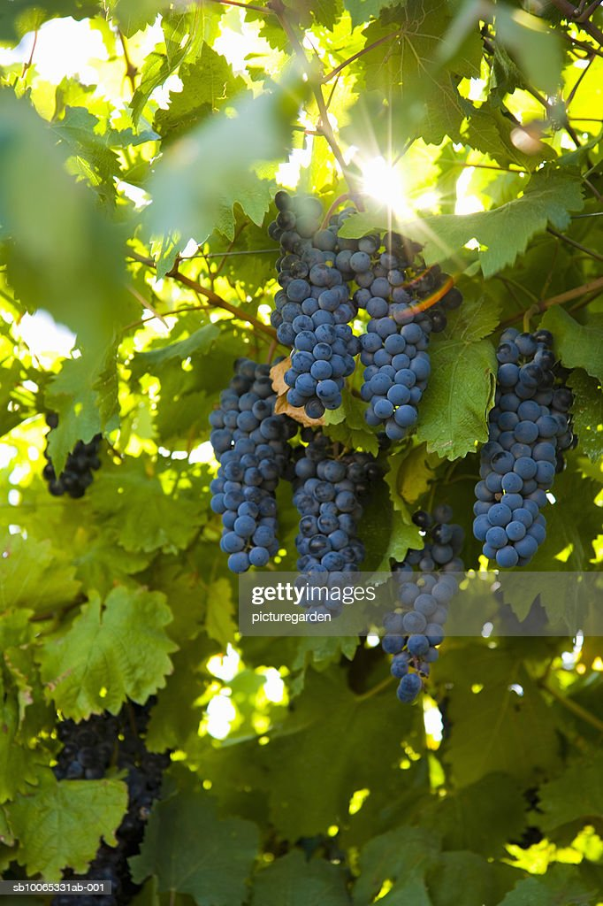 Grapes hanging at vineyard : Foto stock