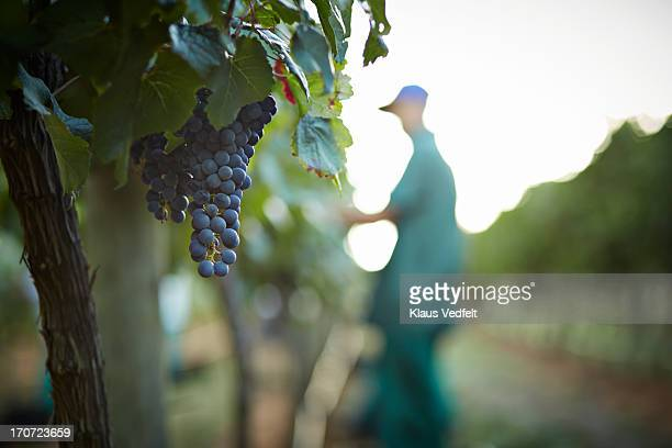 Grapes hanging in foreground, worker in back