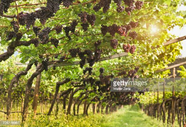 grapes hanging in vineyard - wine vineyard stock photos and pictures