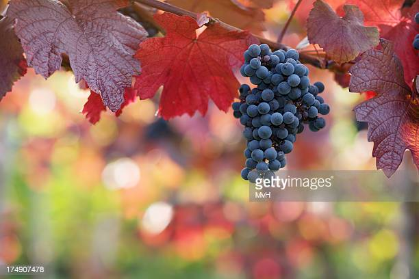 Grapes hanging on vine with red autumn leaves