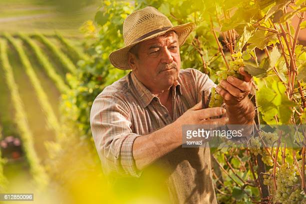 Grapes Harvest - senior farmer