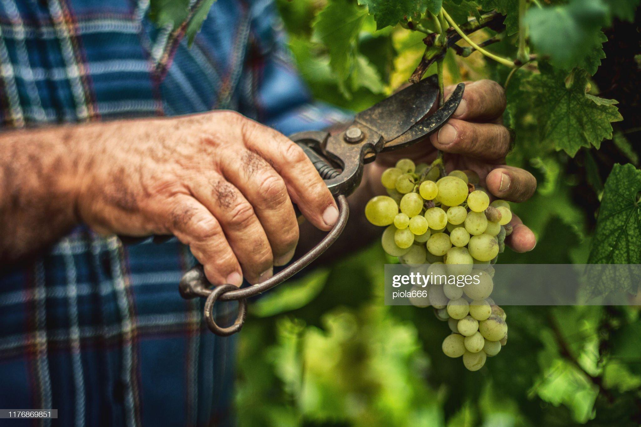 Cosecha y recogida de uvas en Italia : Foto de stock
