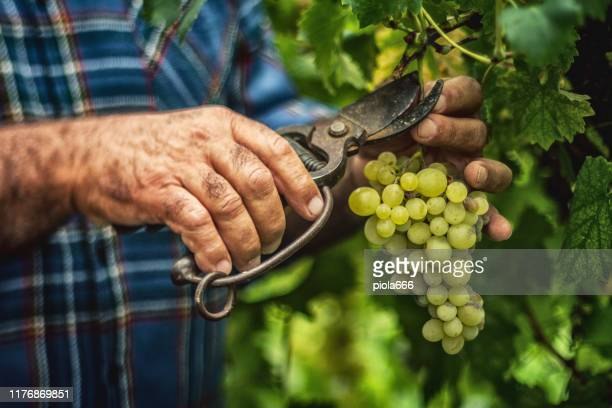 grapes harvesting and picking up in italy - farm worker stock pictures, royalty-free photos & images
