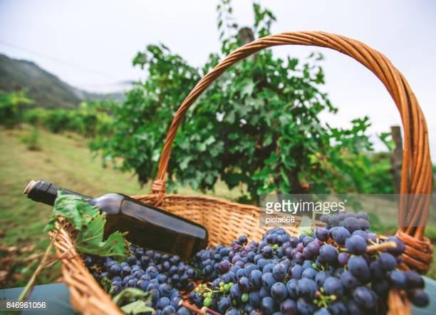 Trauben ernten und Abholung in Italien