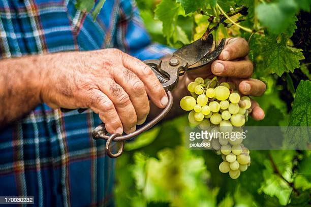 grapes harvesting and picking up - grape harvest stock pictures, royalty-free photos & images