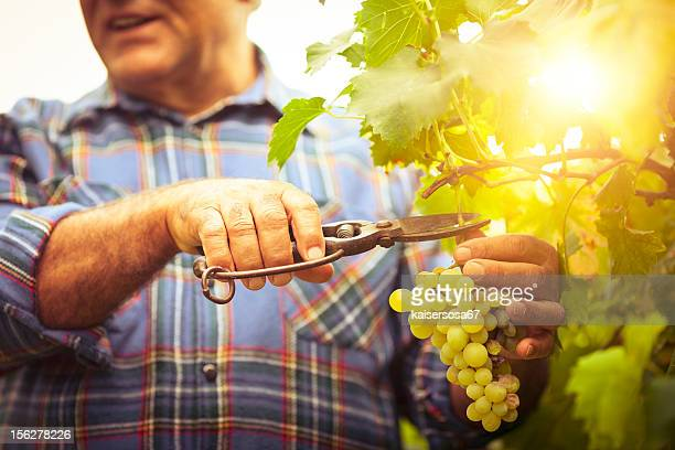 grapes harvesting - white grape stock photos and pictures