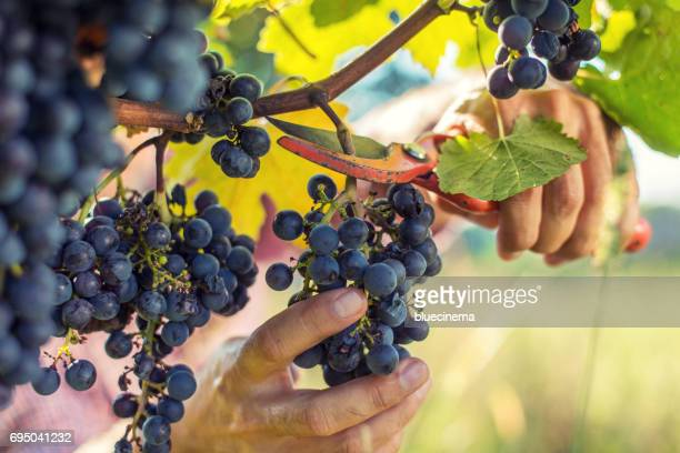 grapes harvesting - grape harvest stock pictures, royalty-free photos & images