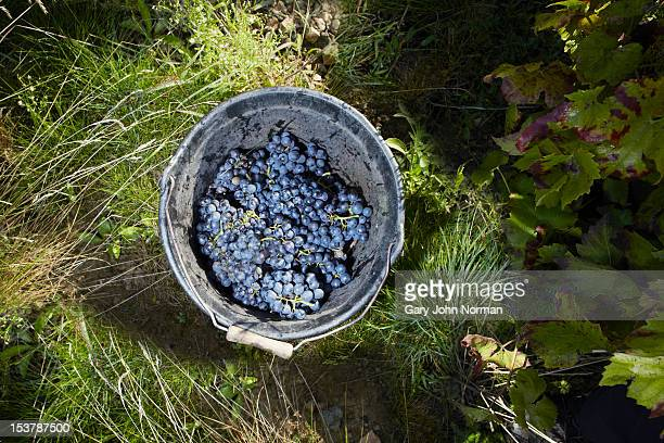 grapes in a bucket