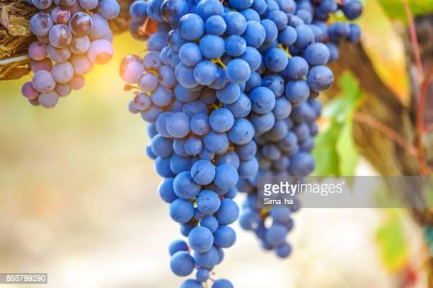 Uvas en un viñedo. Rioja. España