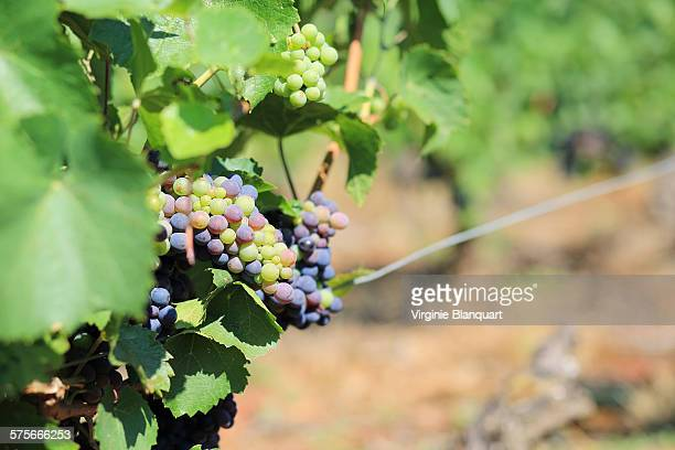 Grapes in a vineyard,Beaujolais, South of France