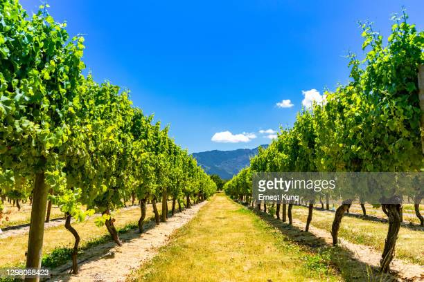 grapes in vineyard - new zealand stock pictures, royalty-free photos & images