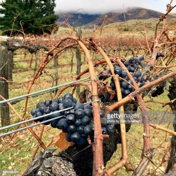 grapes left on dormant vineyard, otago region of new zealand - otago region stock pictures, royalty-free photos & images