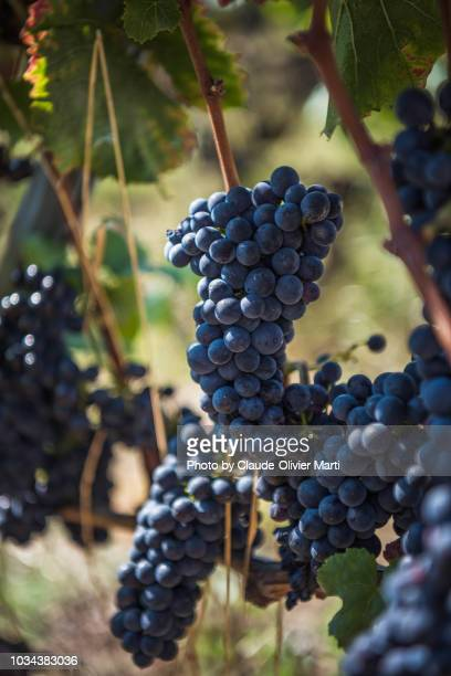 grapes of pinot noir, lavaux, switzerland - pinot noir grape stock photos and pictures