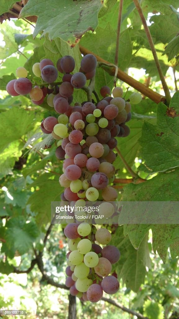 Grapes on branch : Stock Photo