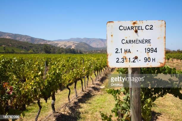 Raisin sur la vigne dans le vignoble Cuartel, du carménère