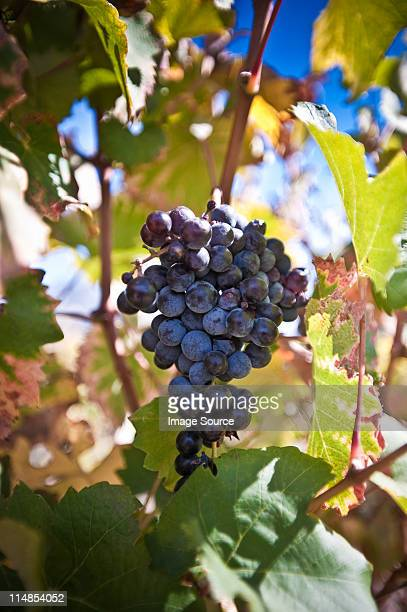 grapes on the vine - red grape stock photos and pictures