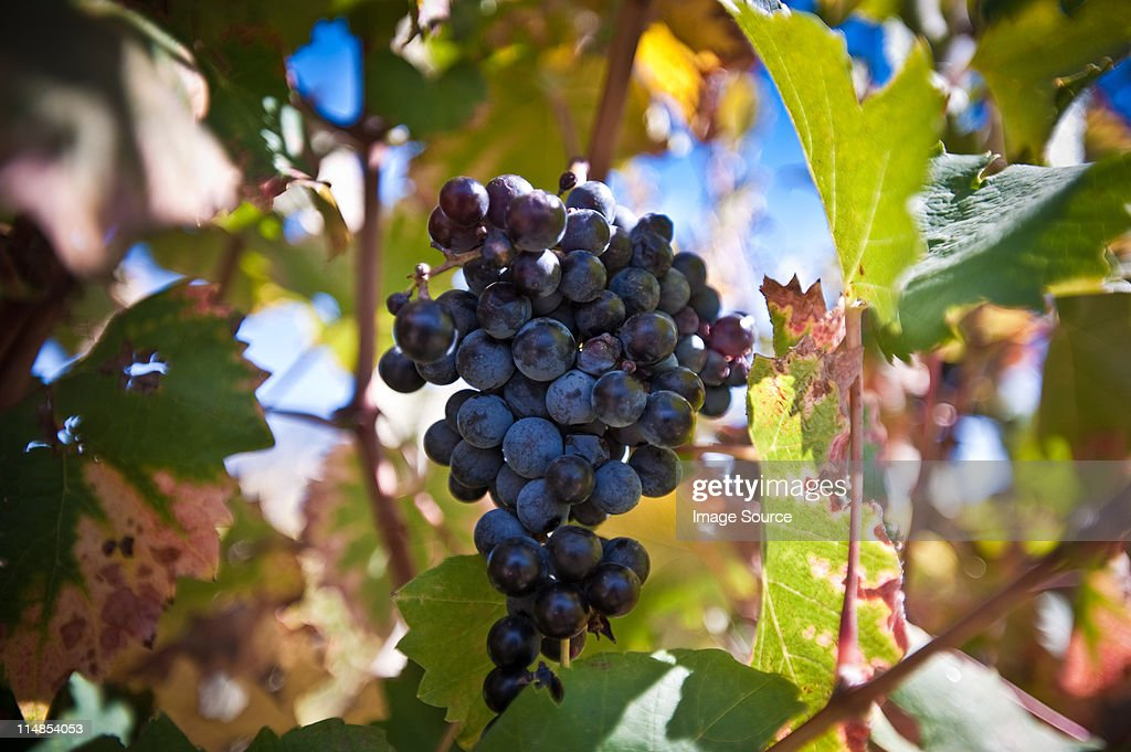 Grapes on the vine : Stock Photo