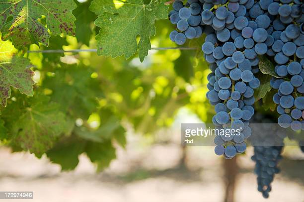 grapes on the vine - cabernet sauvignon grape stock photos and pictures
