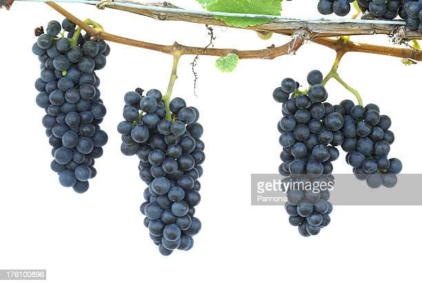 grapes on the vine - grape leaf stock pictures, royalty-free photos & images