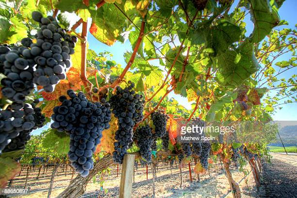 grapes on the vine - napa california stock photos and pictures