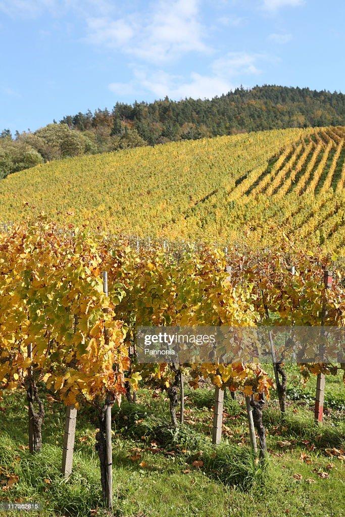 Grapes on vine : Stock Photo