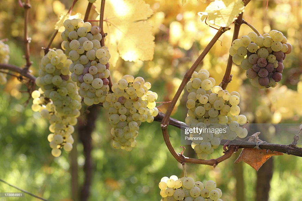 Grapes on Vine : Stock Photo