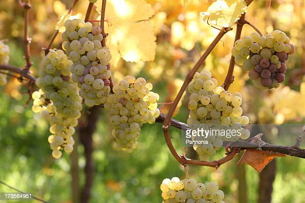 grapes on vine - chardonnay grape stock photos and pictures