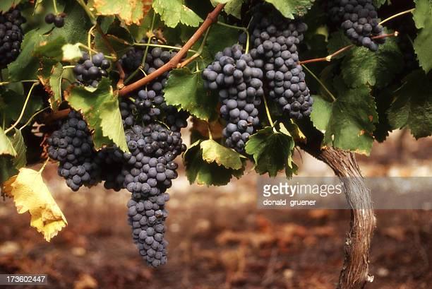 Raisin sur la vigne