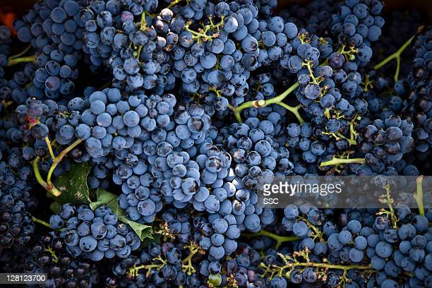 grapes - druif stockfoto's en -beelden