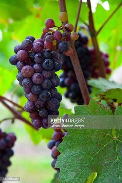 grapes - ベルジュラック ストックフォトと画像