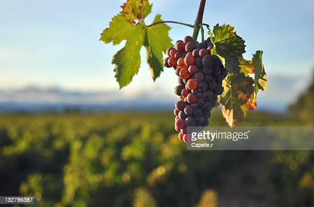 grapes - ガール県 ストックフォトと画像