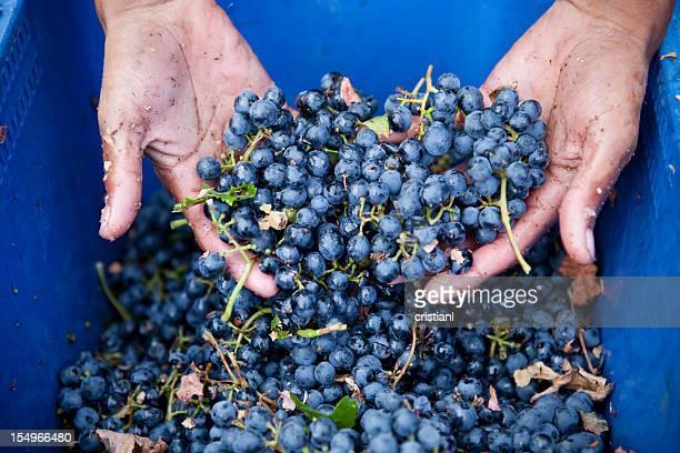 uvas - cabernet sauvignon grape - fotografias e filmes do acervo