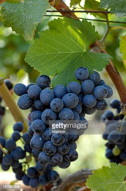 grapes - wineyard stock photos and pictures