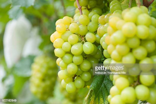 grapes - muscat governorate stock pictures, royalty-free photos & images